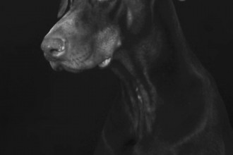 brown Doberman pinscher, portrait, dog, service, training, attentive, obedient, smelling, emotion, animal, pet, home, training, dog, eyes, ears, head, black and white, sitting