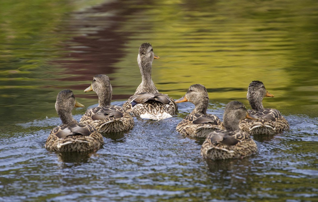 A Female Mallard Duck leads her ducklings across a pond.